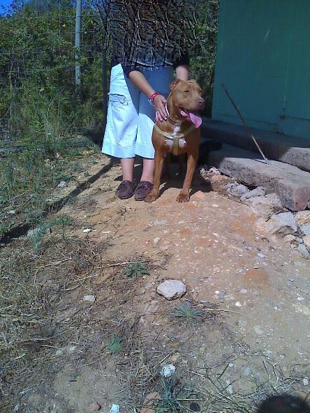 Lia, Doce Pitbull, Fêmea, 2 anos, Para Adopção! Moto_0857_