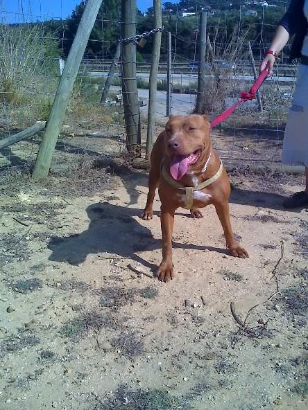 Lia, Doce Pitbull, Fêmea, 2 anos, Para Adopção! Moto_0862