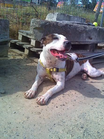 Shiva, Pitbull Meiga, Fêmea, 2 anos, Para Adopção! Moto_0888