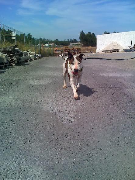 Shiva, Pitbull Meiga, Fêmea, 2 anos, Para Adopção! Moto_0891