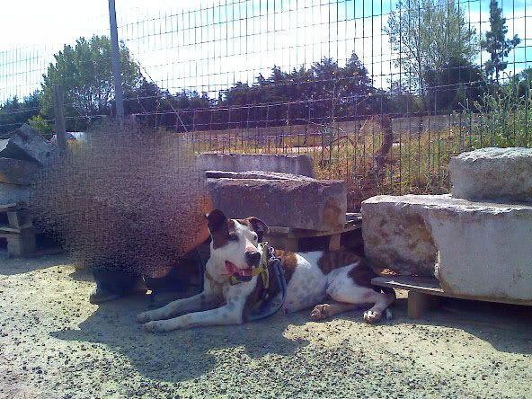Shiva, Pitbull Meiga, Fêmea, 2 anos, Para Adopção! Moto_0899_