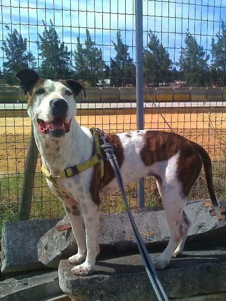 Shiva, Pitbull Meiga, Fêmea, 2 anos, Para Adopção! Moto_0912
