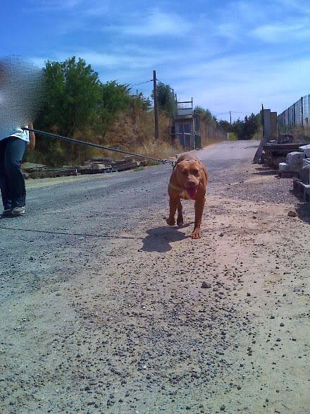 Lia, Doce Pitbull, Fêmea, 2 anos, Para Adopção! Moto_0959_