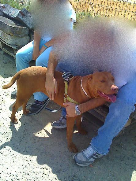 Lia, Doce Pitbull, Fêmea, 2 anos, Para Adopção! Moto_0965_