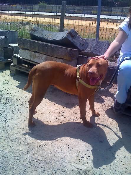 Lia, Doce Pitbull, Fêmea, 2 anos, Para Adopção! Moto_0968