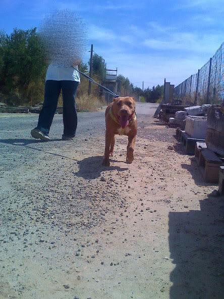 Lia, Doce Pitbull, Fêmea, 2 anos, Para Adopção! Moto_0973_