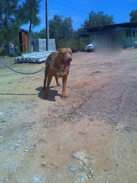 Lia, Doce Pitbull, Fêmea, 2 anos, Para Adopção! Moto_0980_