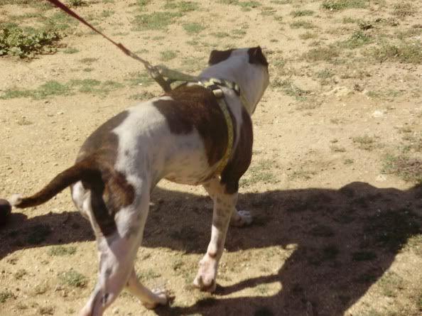 Shiva, Pitbull Meiga, Fêmea, 2 anos, Para Adopção! Untitled17