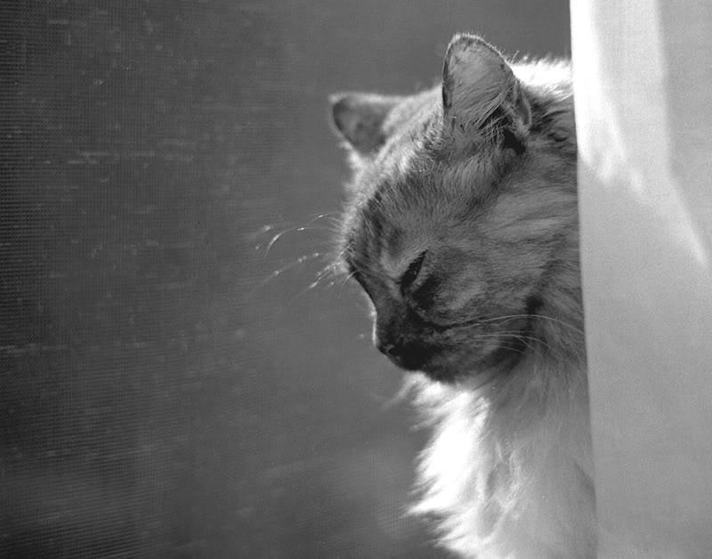 Dreadpath's Kitties!!  Gray-cat