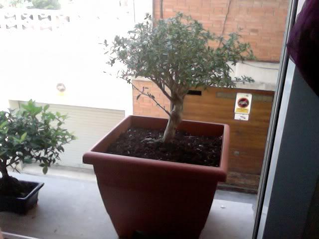 Problemas con mi primer bonsai Photoon2011-08-20at1307