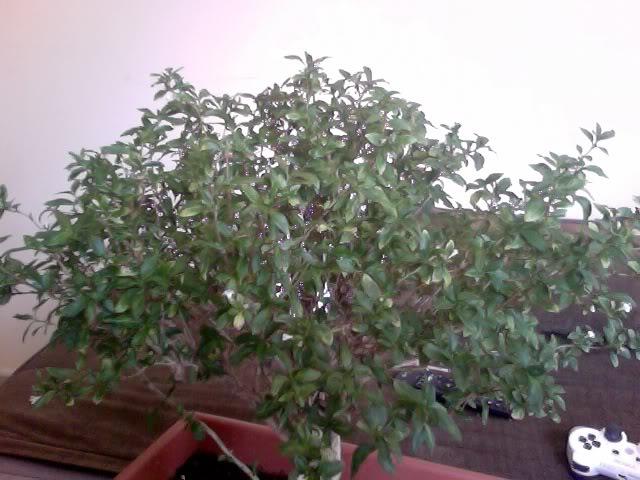 Problemas con mi primer bonsai Hojasamarillas