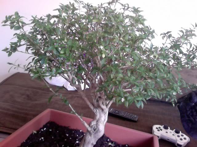 Problemas con mi primer bonsai Hojasamarillas1