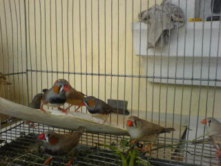 Zebra finch, Star finch, shaftail finch Fancier etc..... - Page 2 DSC01090