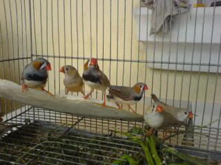 Zebra finch, Star finch, shaftail finch Fancier etc..... - Page 2 DSC01092-1