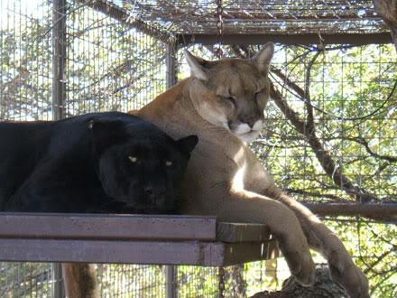 Cougar da America do Norte VS Leopardo Africano 1354