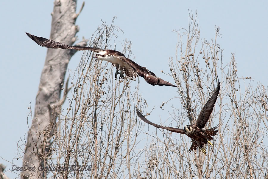 Falconiformes. sub Falconidae - sub fam Falconinae - gênero Falco - Página 2 103195813MstwgJ4xOsprey_Per_esized