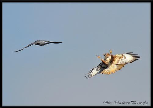Falconiformes. sub Falconidae - sub fam Falconinae - gênero Falco - Página 2 BuzzardPeregrine