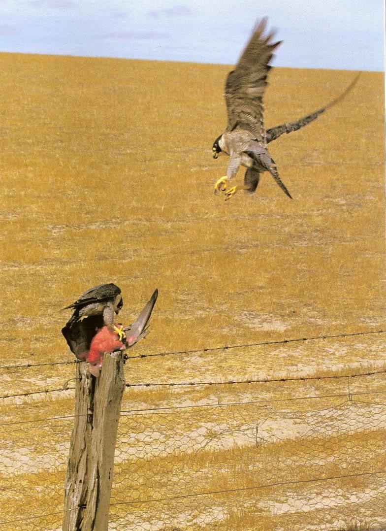 Falconiformes. sub Falconidae - sub fam Falconinae - gênero Falco - Página 2 Perf2