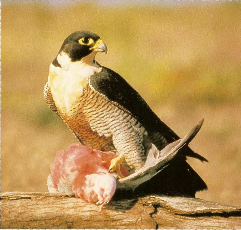 Falconiformes. sub Falconidae - sub fam Falconinae - gênero Falco - Página 2 Perf3