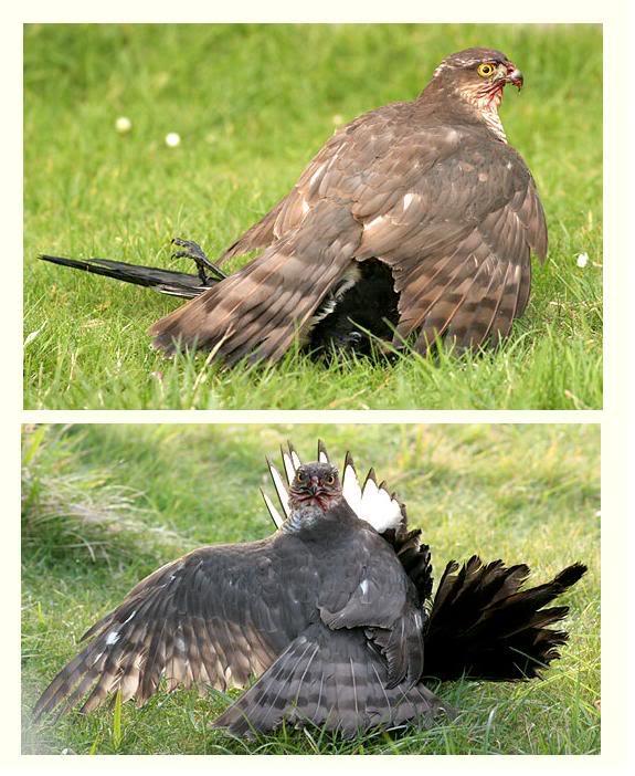Accipiter nisus เหยี่ยวนกกระจอกใหญ่ SparrowhawkMagpie