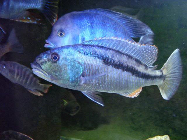 Aristochromis christyi 100_1505