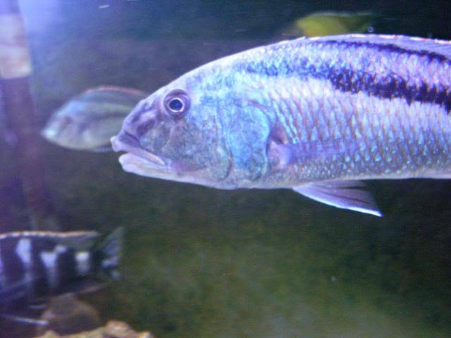 Aristochromis christyi 100_1506