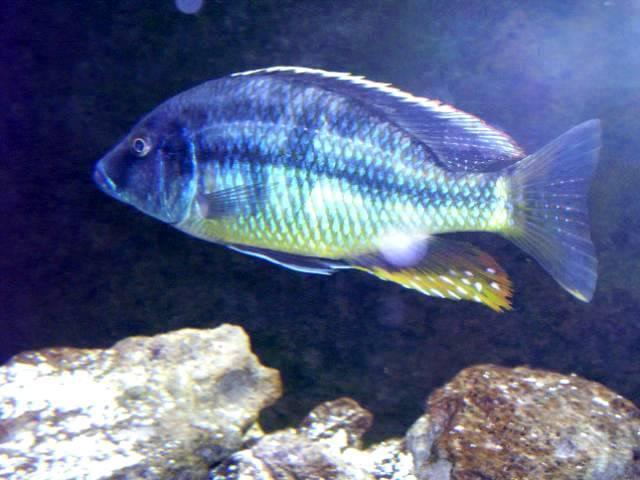 Tyrannochromis macrostoma 100_1518