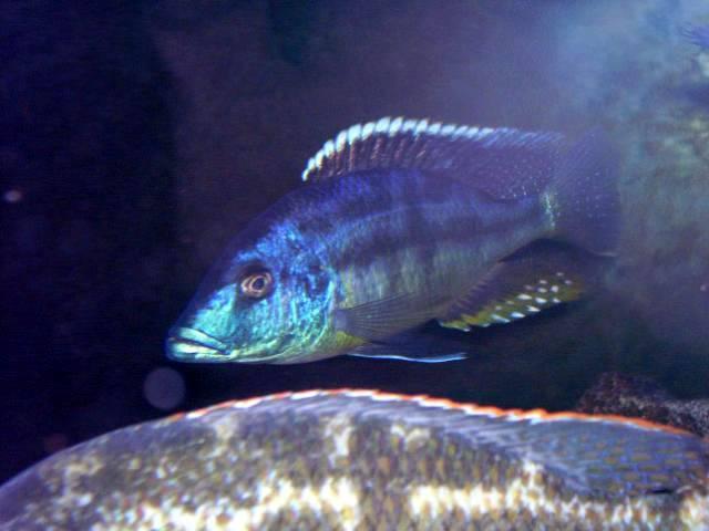 Tyrannochromis macrostoma 100_1523