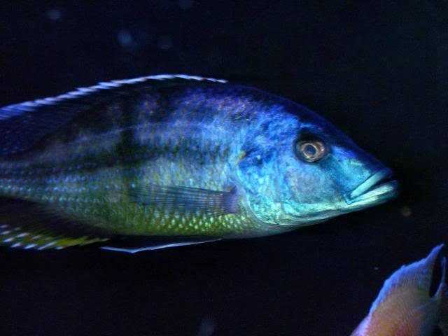 Tyrannochromis macrostoma 100_1531