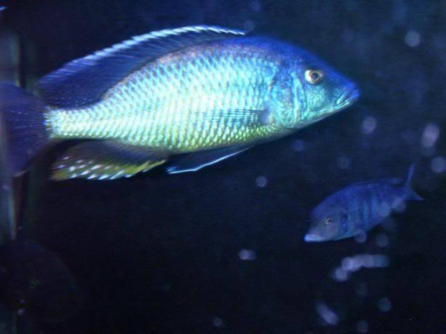 Tyrannochromis macrostoma 100_1541