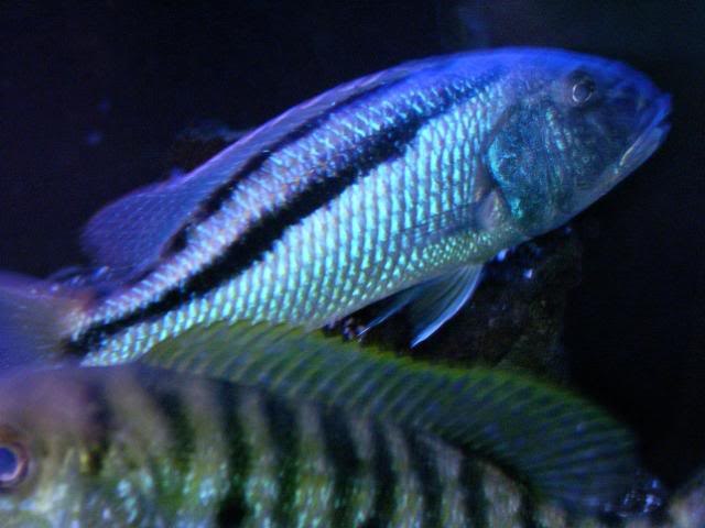 Aristochromis christyi 100_1546