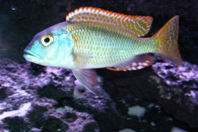 Buccochromis nototaenia 100_1693