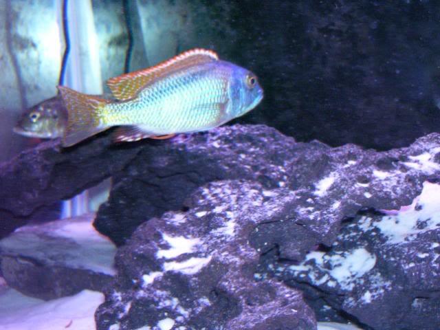 Buccochromis nototaenia 100_1701
