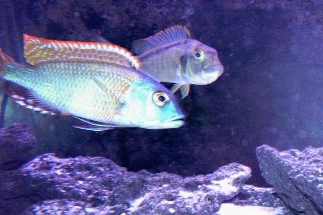 Buccochromis nototaenia 100_1713