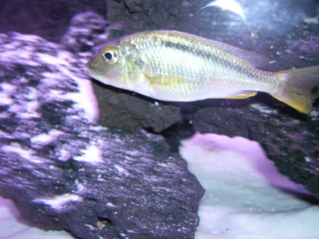 Buccochromis nototaenia 100_1717