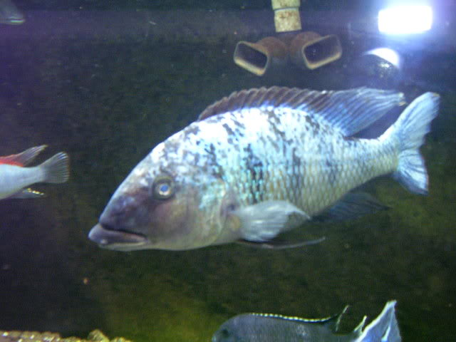 Fossorochromis rostratus 1bdf54c7
