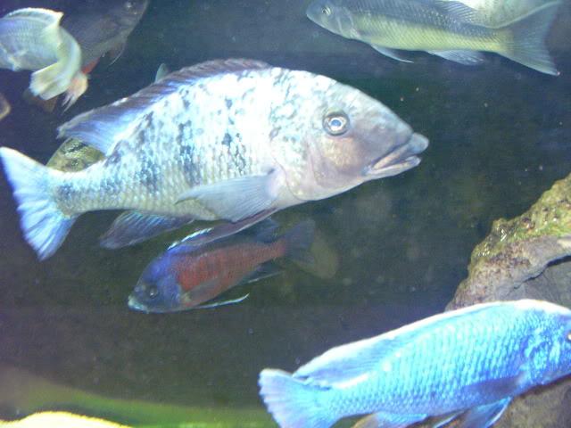 Fossorochromis rostratus 32cb0fe6