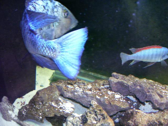 Fossorochromis rostratus 4bf21b56