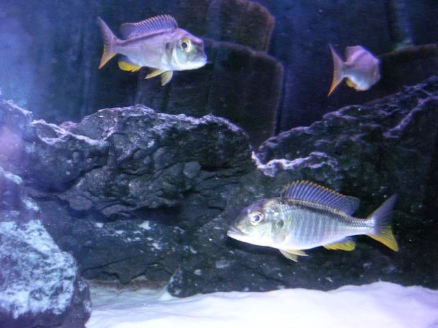 Buccochromis nototaenia 7bcf08d0
