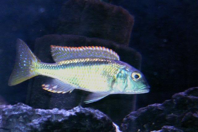 Buccochromis nototaenia 8f8373f0