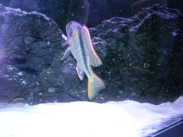 Buccochromis nototaenia D8df49a8