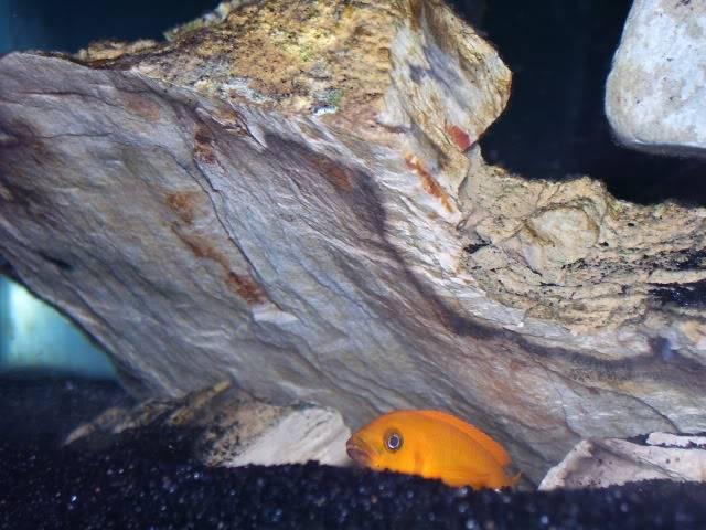 Neolamprologus leleupi (Orange) Ef7cbb9f