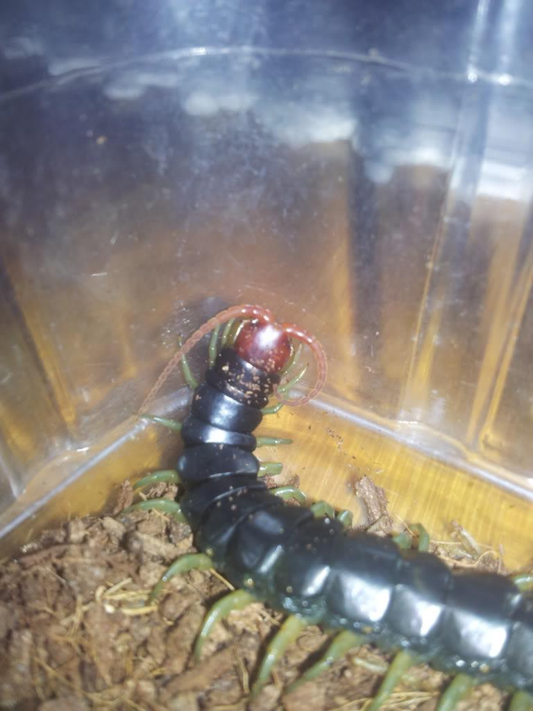 Centipede pics Centipede3