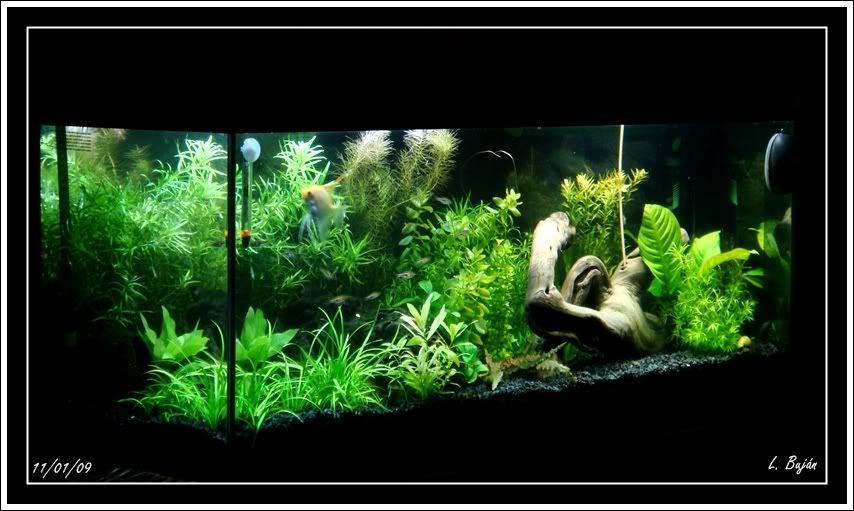 Mi acuario! DSC03812
