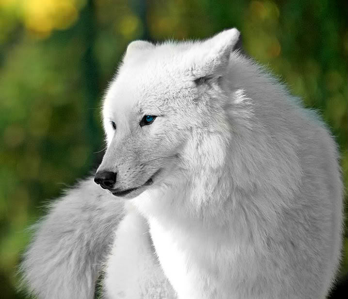 Soul - The Defender and Brave White-wolf-2-1