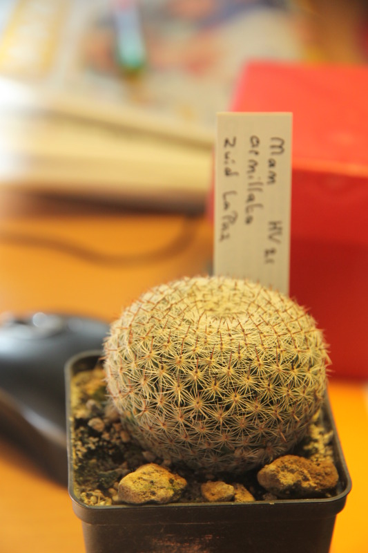 two questions about mammillaria 31012cactus003