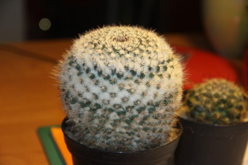 Mammillaria from ELK Cactus4