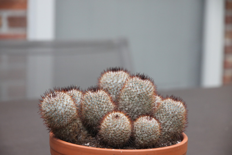 Help needed with this mammillaria Cactussen113