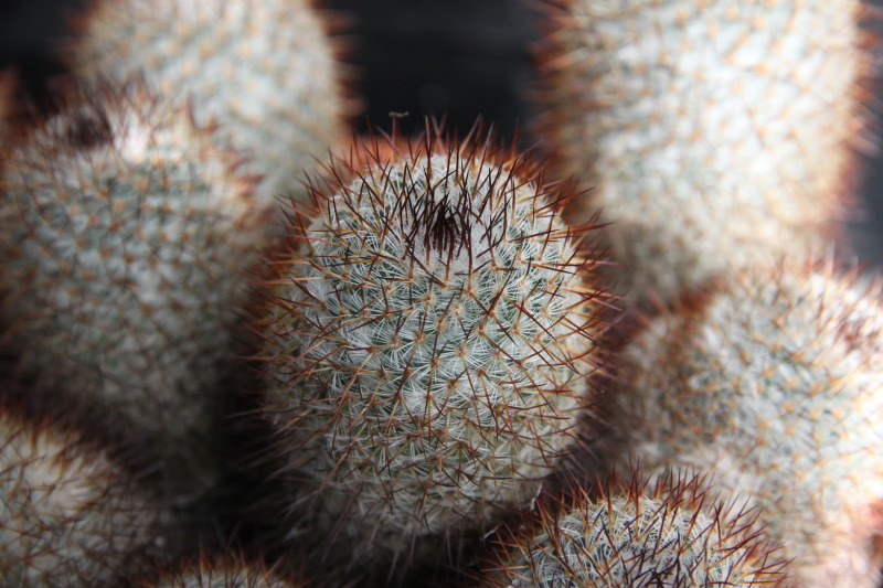 Help needed with this mammillaria Cactussen2002