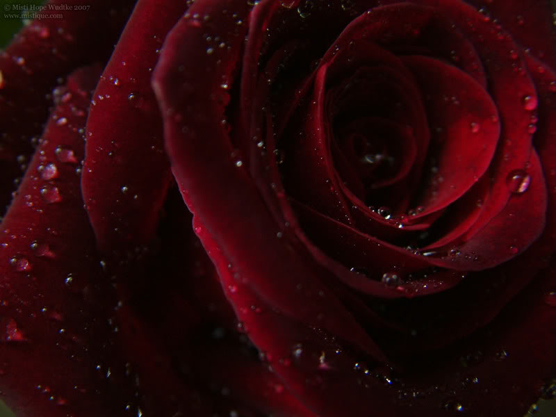 Rate the image above you Wallpaper_rose